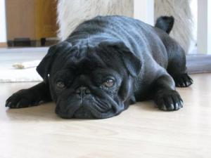 black-pug.png